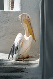 Petros the Pelican, Chora, Mykonos, Greece Fotografisk tryk af David Noyes