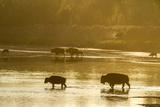Bison Wildlife Crossing Little Missouri River, Theodore Roosevelt National Park, North Dakota, USA Reproduction photographique par Chuck Haney