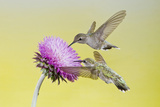 Black-Chinned Hummingbird Females Feeding at Flowers, Texas, USA Reproduction photographique par Larry Ditto