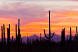 Saguaro Forest, Sonoran Desert, Saguaro National Park, Arizona, USA Fotografie-Druck