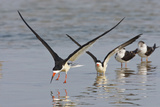 Black Skimmers, Bird on the Laguna Madre, Texas, USA Reproduction photographique par Larry Ditto