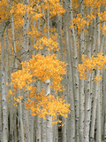 Aspen Grove, Fish Lake Plateau Near Fish Lake National Forest, Utah, USA Photographic Print by Scott T. Smith