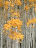 Aspen Grove, Fish Lake Plateau Near Fish Lake National Forest, Utah, USA Photographic Print by Scott T. Smith