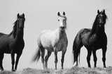 Wild Stallion Horses, Alkali Creek, Cyclone Rim, Continental Divide, Wyoming, USA Stampa fotografica di Scott T. Smith