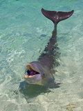 Dolphin in the Ocean, Roatan Island, Honduras Photographic Print by Keren Su