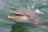 Dolphin in the Ocean, Roatan Island, Honduras Fotografisk tryk af Keren Su
