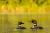 Breeding Pair of Common Loon Birds and Chick on Beaver Lake, Whitefish, Montana, USA Lámina fotográfica por Chuck Haney