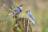 Blue Jay Bird, Adults on Log with Acorns, Autumn, Texas, USA Stampa fotografica di Larry Ditto