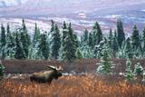 Bull Moose Wildlife, Denali National Park and Preserve, Alaska, USA Fotografisk trykk av Hugh Rose