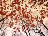 Red Maple and Autumn Sky Julisteet tekijänä Raymond Gehman