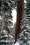 Giant Forest, Giant Sequoia Trees in Snow, Sequoia National Park, California, USA Photographic Print by Inger Hogstrom