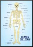 Human Skeleton Anatomy Anatomical Chart Poster Print Impressão montada