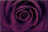 Purple Rose Close-Up Art Print Poster Impressão montada