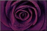 Purple Rose Close-Up Art Print Poster Mounted Print
