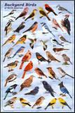 Pássaros do quintal, quadro educativo, pôster científico Impressão montada