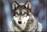 WWF - Grauer Wolf Druck aufgezogen auf Holzplatte