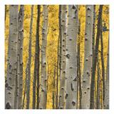 Aspen Trees 3 Premium fotoprint van Jamie Cook