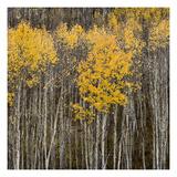 Aspen Trees 2 Premium fotoprint van Jamie Cook
