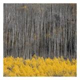 Aspen Trees 4 Premium fotoprint van Jamie Cook
