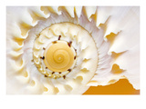 Sea Shell Abst No.4 Premium Photographic Print by Shams Rasheed