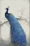 Peacock Blue II Prints by Tim O'toole