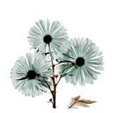 Chrysanthemum Love Stampe di Albert Koetsier