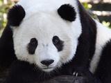 National Zoological Park: Giant Panda Lámina fotográfica