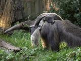 National Zoological Park: Giant Anteater Lámina fotográfica