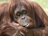 National Zoological Park: Orangutan Reproduction photographique