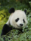 National Zoological Park: Giant Panda Fotoprint