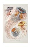 "Smimthsonian Libraries: ""Discomedusae"" by Ernst Heinrich Philipp August Haeckel Posters"