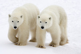 Pair of Adolescent Polar Bear Cubs Reproduction photographique par Howard Ruby