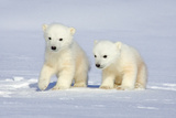 Polar Bear Twins Fotografisk trykk av Howard Ruby