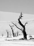 Black Trees Fotografisk tryk af Howard Ruby