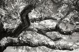 Coast Live Oak I Photographic Print by Alan Hausenflock