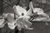 Dogwood Blossoms I BW Fotografisk tryk af Erin Berzel