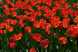 Red Tulips Photographic Print by Howard Ruby