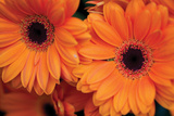 Orange Gerbera Daisies Reproduction photographique par Erin Berzel
