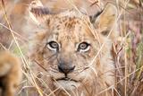 Cucciolo di leone Stampa fotografica di Howard Ruby