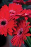 Red Gerbera Daisies 1 Reproduction photographique par Erin Berzel