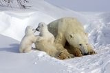 Kissing Polar Bear Cubs Reproduction photographique par Howard Ruby