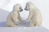 Dueling Polar Bear Cubs Fotografisk tryk af Howard Ruby