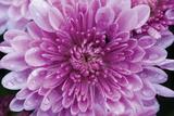 Purple Mum II Photographic Print by Erin Berzel