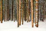 Lodge Poles Lámina fotográfica por Howard Ruby