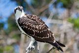 Osprey, Yucatan, Mexico Reproduction photographique par Howard Ruby