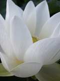 Lotus Premium fototryk af Jim Christensen