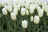 White Tulips I Photographic Print by Dana Styber