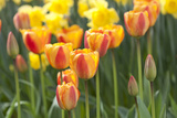 Tulip March II Photographic Print by Dana Styber