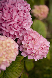 Hydrangeas V Photographic Print by Karyn Millet