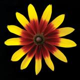 Flower on Black II Fotografisk tryk af Jim Christensen